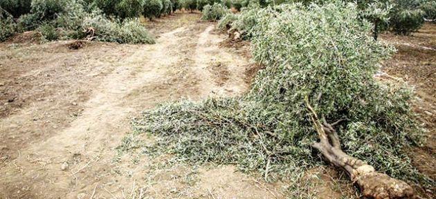 Zeytin ağaçlarını kestiler