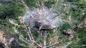 Çam kese böceği  mücadelesi başlıyor