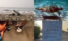 12 yılda 11 bin 50 deniz kaplumbağası yavrusunun denizle buluşması sağlandı