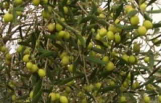 Lefkoşa'da yarın zeytin toplanabilir