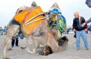 Zeytin festivalinde 'Deve güreşi'