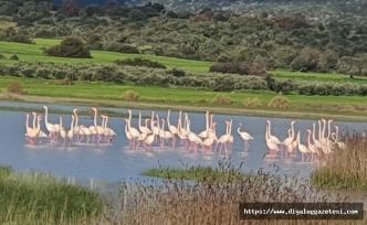Göçmen kuşlardan olan flamingolar bu yıl Kıbrıs'ta daha çok sulak alanda görüntülendi