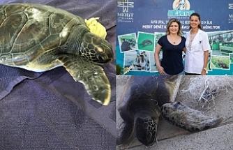 Meritta, sol iki yüzgecini de kaybeden Songül isimli yeşil deniz kaplumbağasının tedavisine başladı